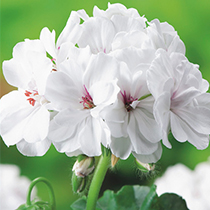 aide-au-choix-geraniums_37