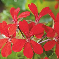 aide-au-choix-geraniums_40