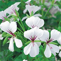 aide-au-choix-geraniums_42