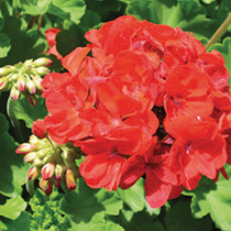 aide-au-choix-geraniums_5