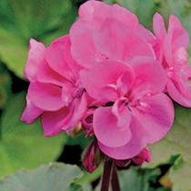 aide-au-choix-geraniums_7