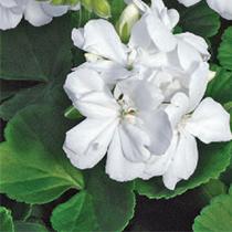 aide-au-choix-geraniums_8