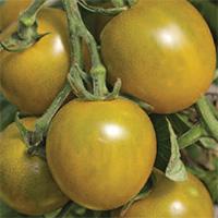 Tomate cerise Green Grape