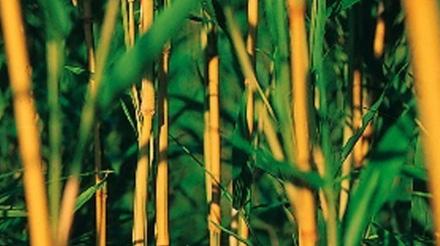 Edito_banbou-jaune-aureocaulis