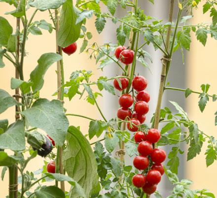 du-jardin-a-l-assiette-les-tomates-bio_3