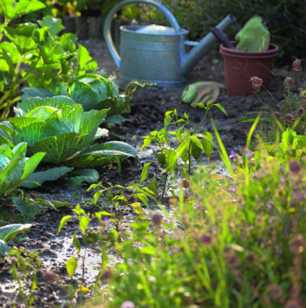 Comment planter vos salades?