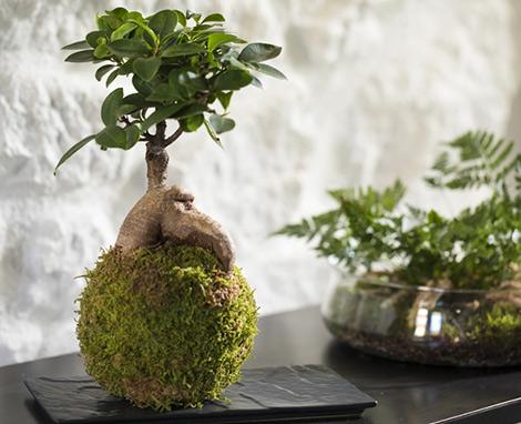 Kokedama : un terrarium japonais… et sans pot !