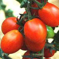 Tomate cerise allongée Aligote
