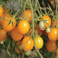 Tomate cerise jaune Gold Nugget