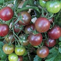 Tomate cerise noire Black Cherry