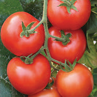 Tomate Grappes Giolice