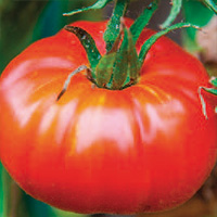 Tomate Marbonne