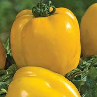 Tomate Poivron Jaune