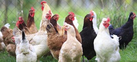 une-alimentation-saine-et-complete-pour-nos-poules_7