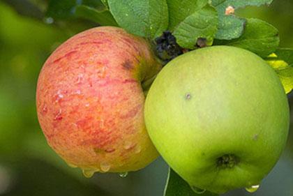 Comment bien choisir mes pommes ?