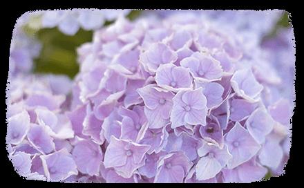 Du Japon à nos jardins, l'hortensia dévoile ses secrets de beauté