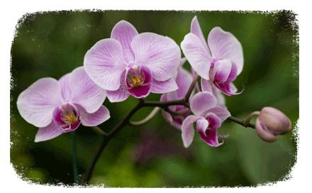 L'orchidée bio : une exclusivité botanic®
