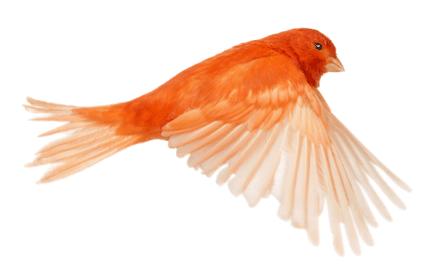 Le canari chanteur de bonne compagnie