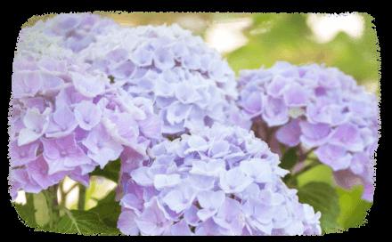 Les hortensias, plantation & entretien
