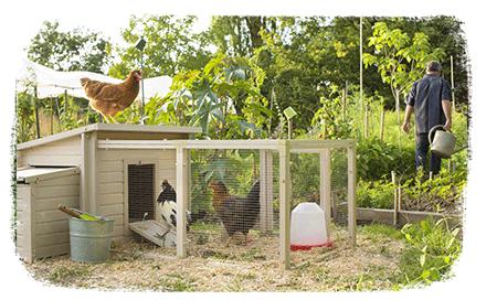 Donner les restes à ses poules : bonne ou mauvaise habitude ?