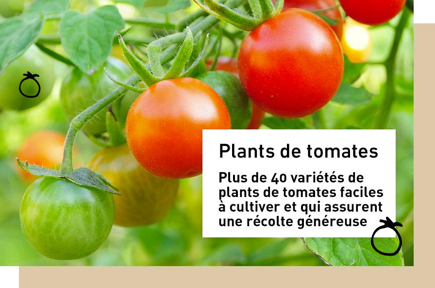 plant-de-tomate_1