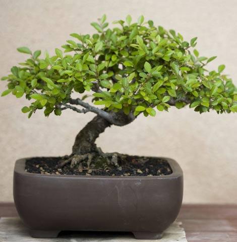 Dompter son bonsaï - Botanic