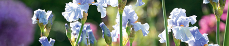 les-iris-fleurs-de-charme_5