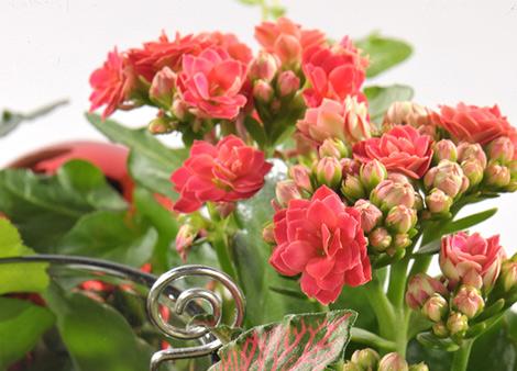 les-kalanchoe-delicieuses-succulentes_2