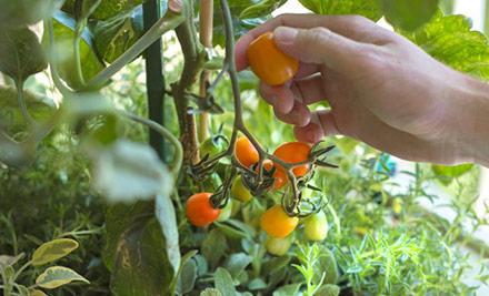 les-tomates-rougir-de-plaisir_4