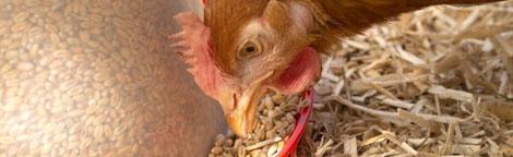 une-alimentation-saine-et-complete-pour-nos-poules_6