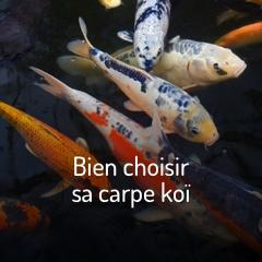 bien-choisir-sa-carpe-koi