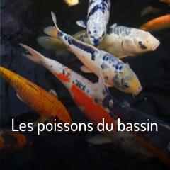 comment-nourrir-les-poissons-du-bassin