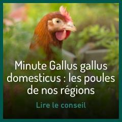 les-poules-de-nos-regions