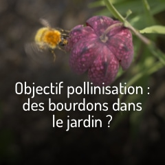 objectif-pollinisation-des-bourdons-dans-le-jardin