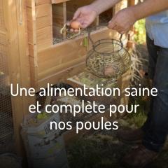 une-alimentation-saine-et-complete-pour-nos-poules
