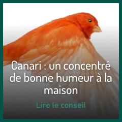 le-canari-chanteur-de-bonne-compagnie