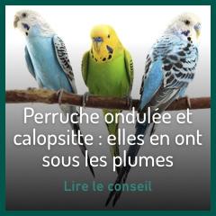 ondulee-et-callopsitte-la-creme-des-perruches