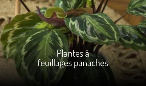 Plantes à feuillages panachés