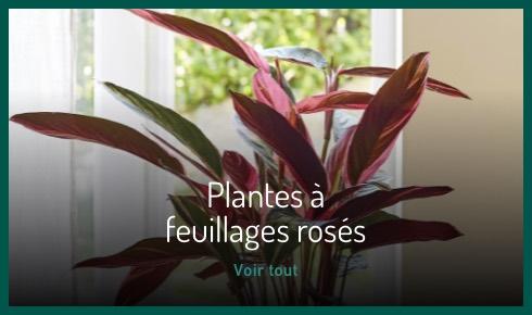 Plantes à feuillages rosés