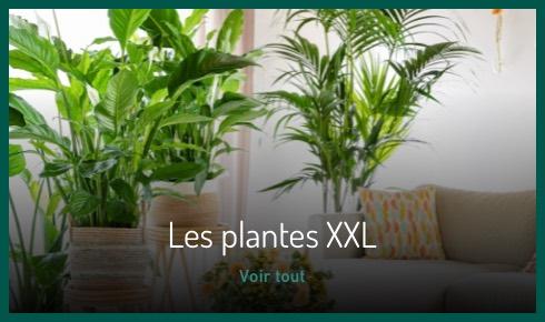 Les plantes XXL