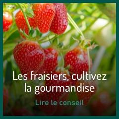 les-fraisiers-cultiver-la-gourmandise