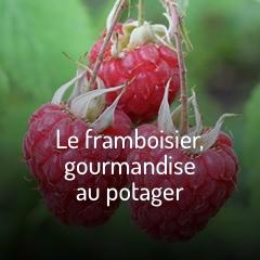 les-framboisiers-gourmandises-au-potager