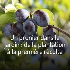 les-pruniers
