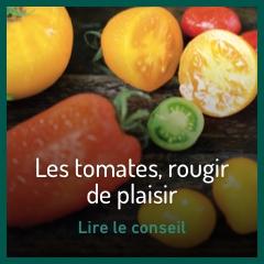 les-tomates-rougir-de-plaisir
