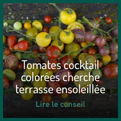 ribambelle-de-tomates-cocktail-colorees-cherche-terrasse-ensoleillee