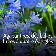 agapanthes-des-belles-tirees-a-quatre-epingles