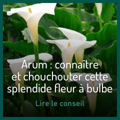 arum-fleur-bulbe