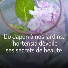du-japon-a-nos-jardins-l-hortensia-devoile-ses-secrets-de-beaute