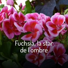 fuchsia-la-star-de-l-ombre