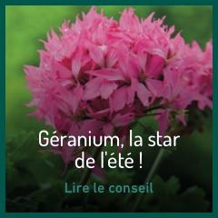 geraniums-les-stars-de-l-ete